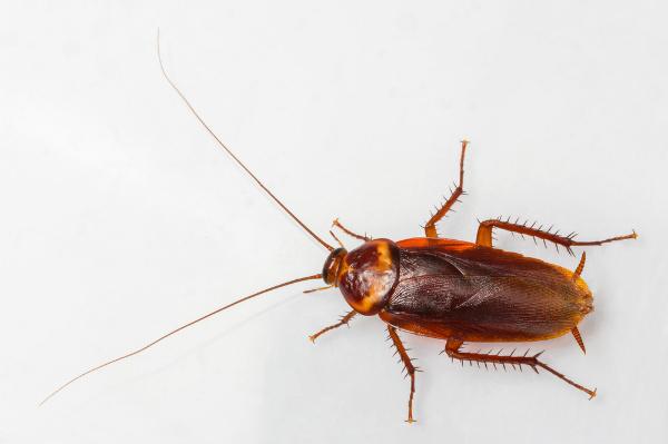 แมลงสาบ คือแมลงที่สามารถแพร่กระจายเชื้อโรค